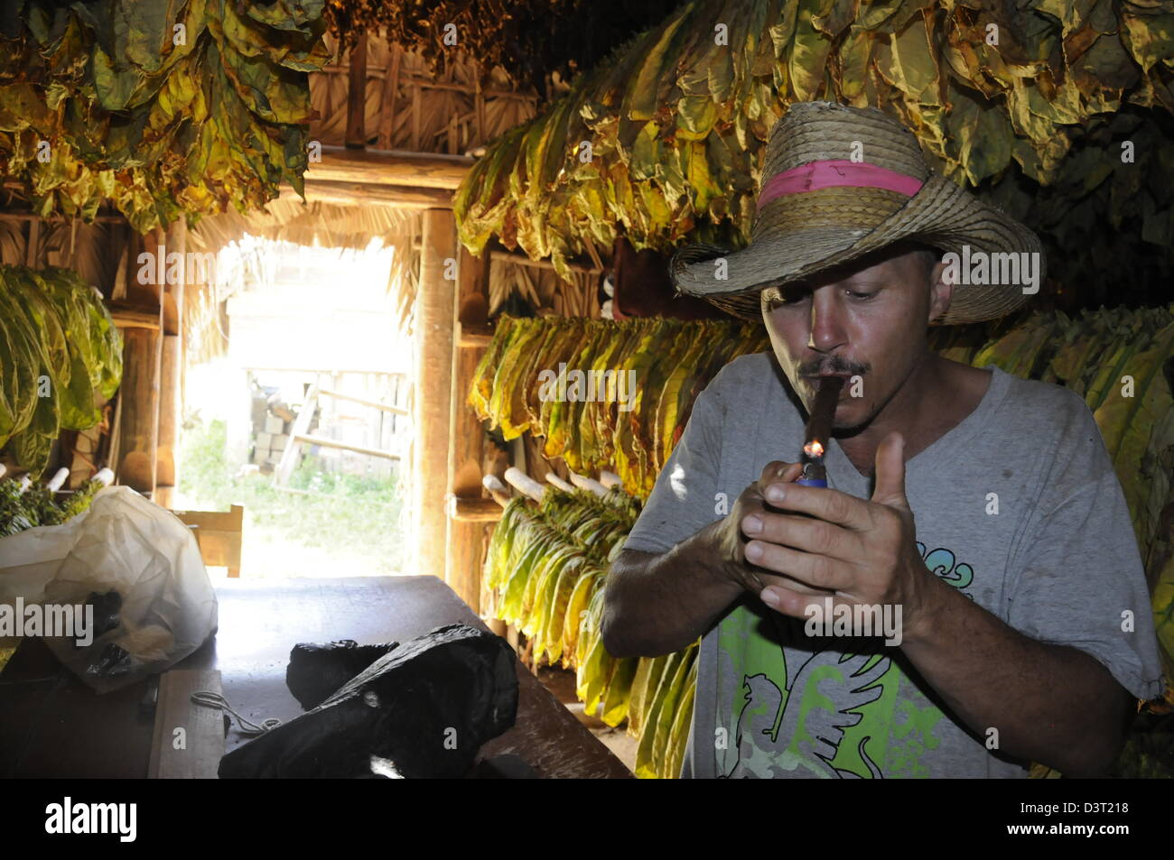 Ramon a tobacco farmer lights his cigar in front of drying tobacco leaves - Stock Image