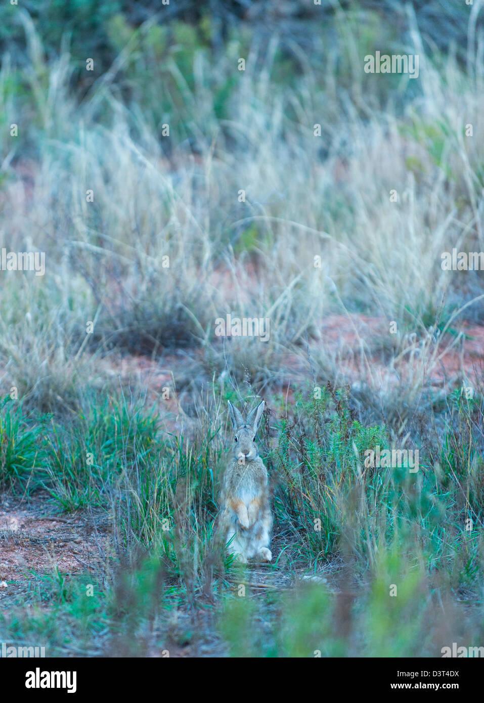 Rabbit in Garden of the Gods, Colorado, USA - Stock Image