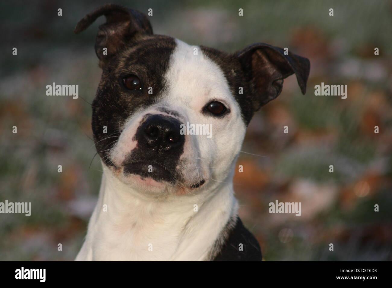 Portrait of Staffordshire bull terrier - Stock Image