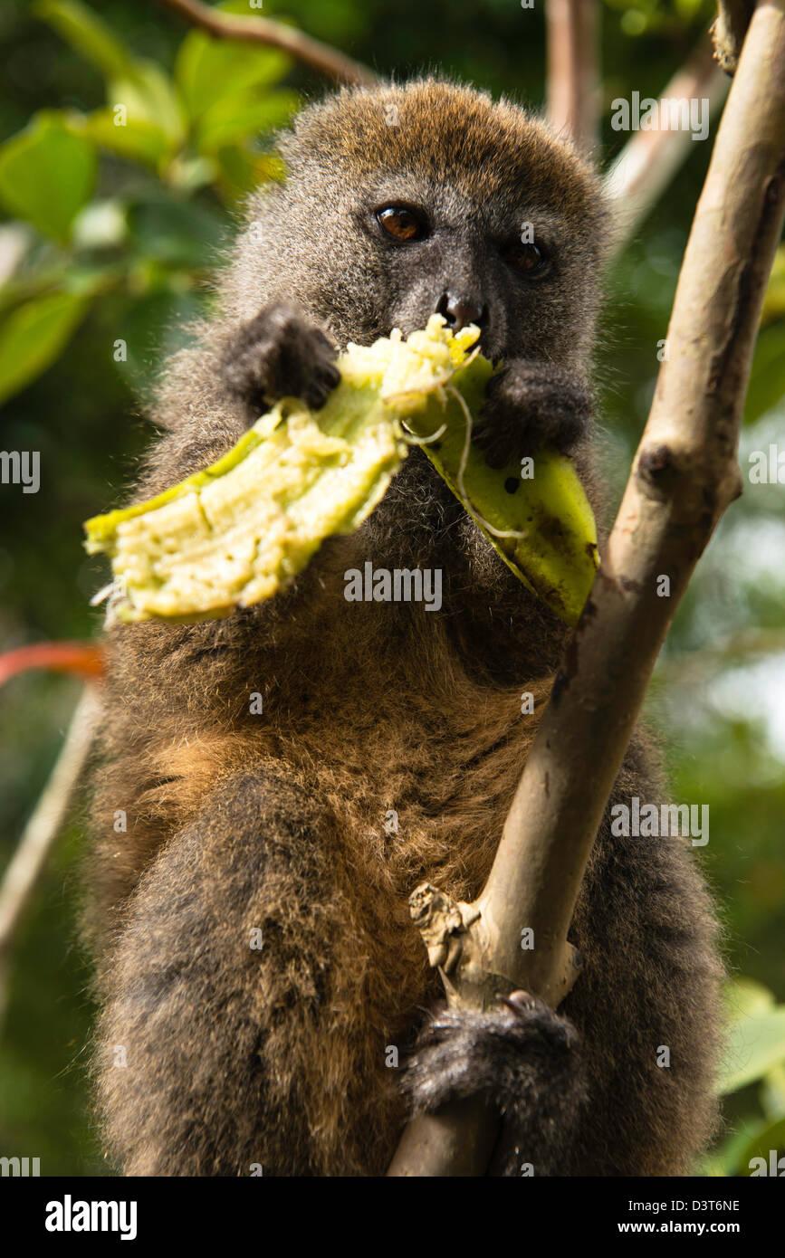 The bamboo or gentle lemurs feeding (Hapalemur) Madagascar - Stock Image