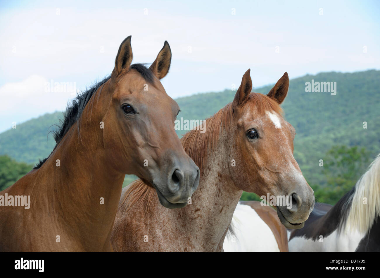 Horses alert and looking toward camera right with green mountain background, front view. Stock Photo