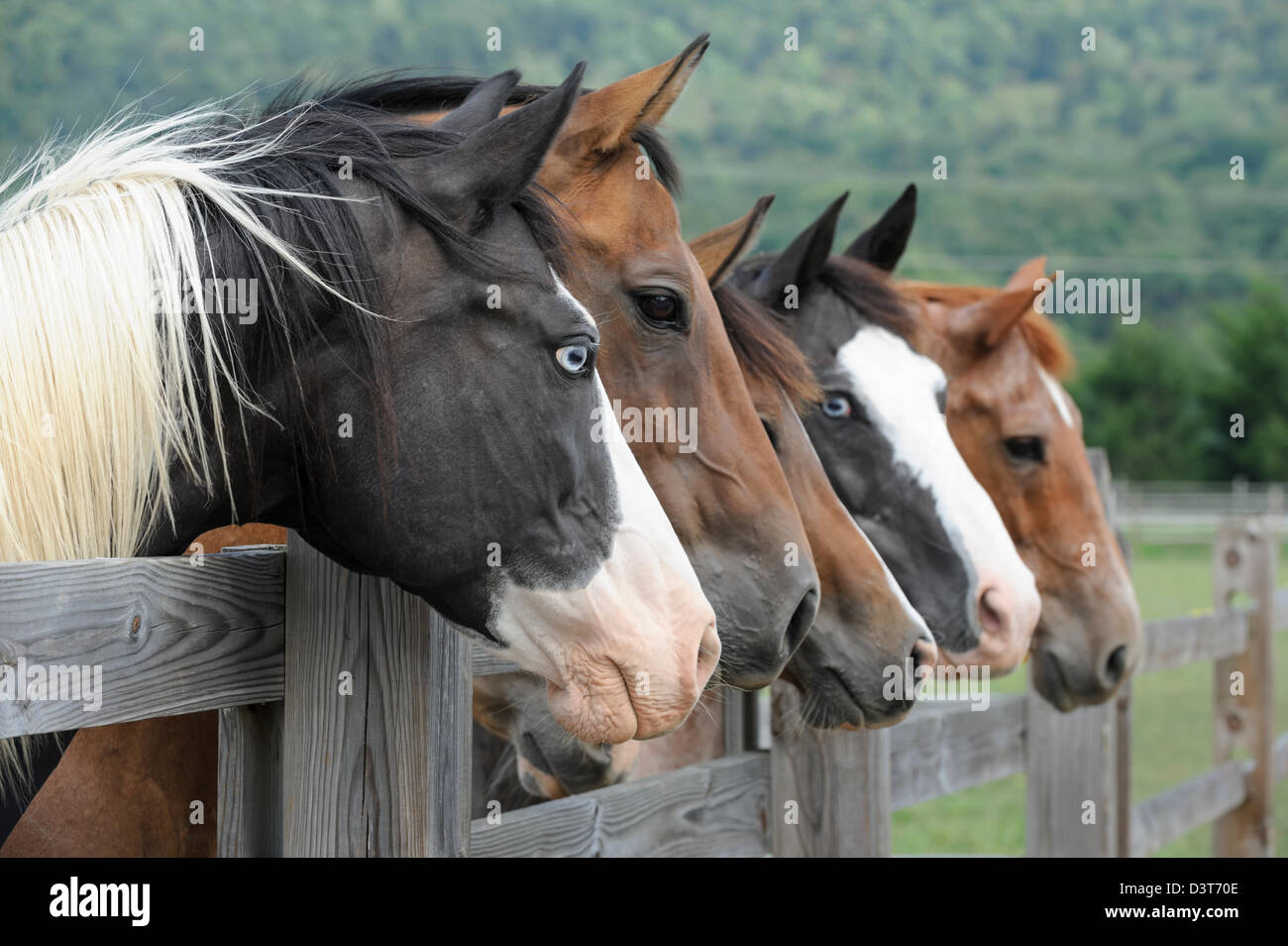 Horses lined up looking over fence as a group toward camera right, side view, one animal with piercing blue eyes. - Stock Image