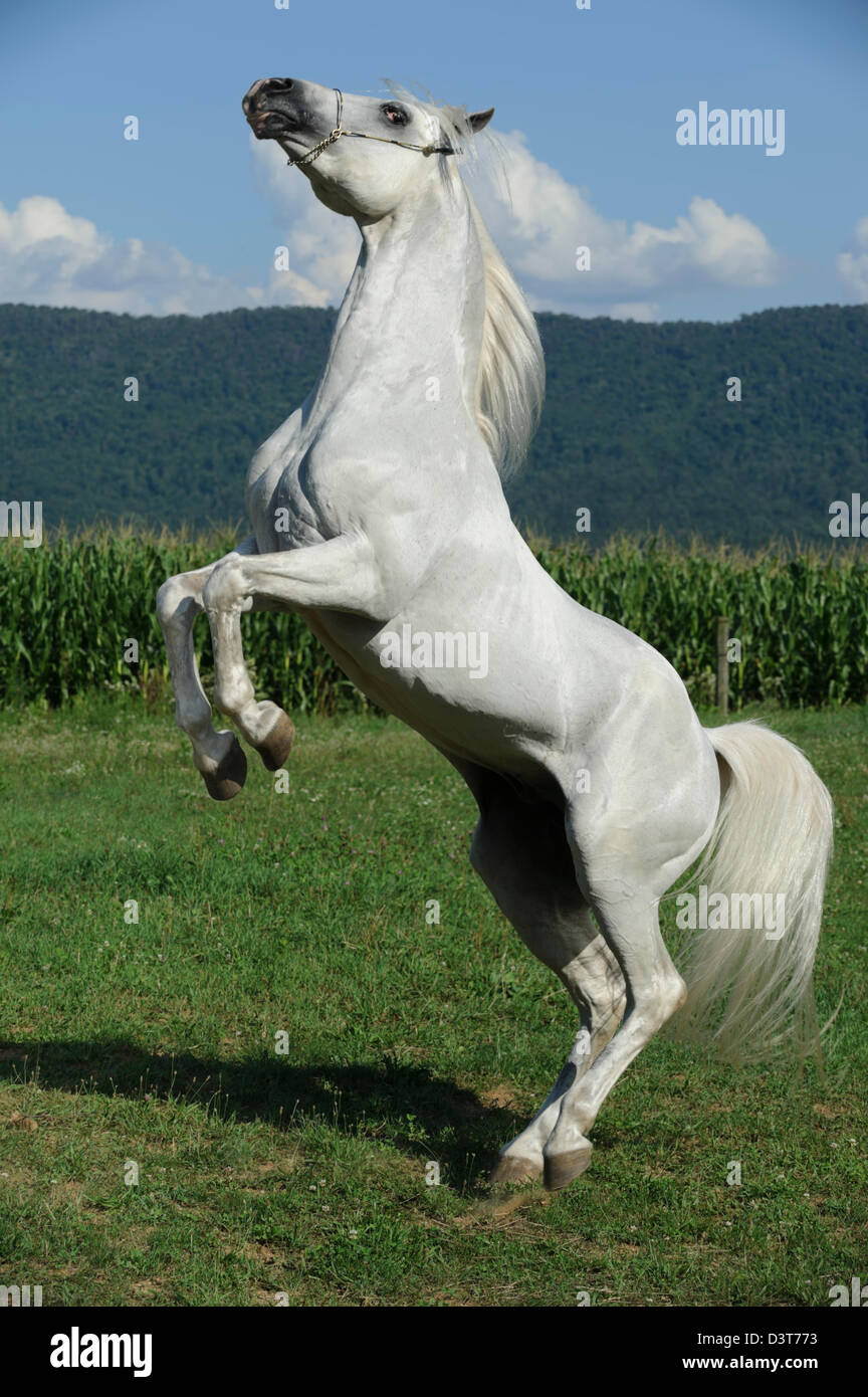 White horse rearing up against summer mountain and field background on a sunny day, Arabian stallion, Pennsylvania, - Stock Image
