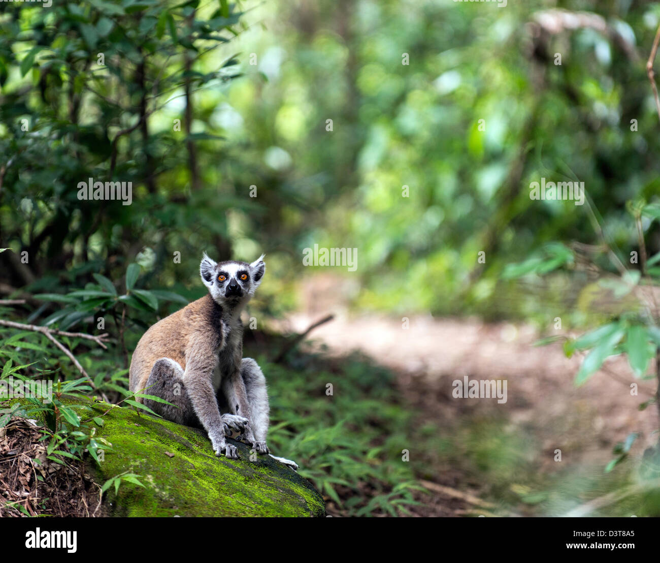 The ring tailed lemurs (Lemur catta) on the ground Isalo National Park Madagascar - Stock Image