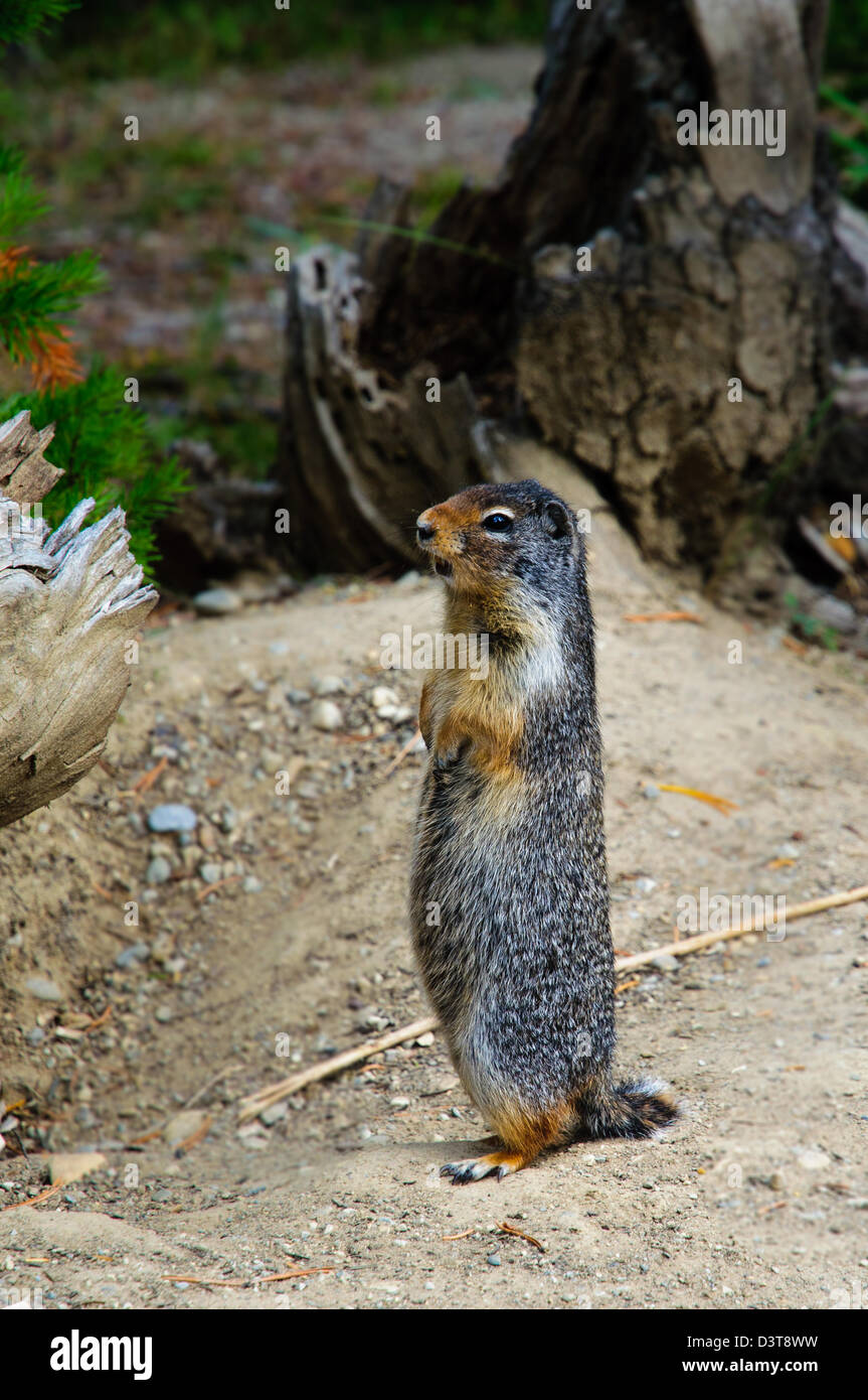 Close up of a Marmot standing to attention - Stock Image