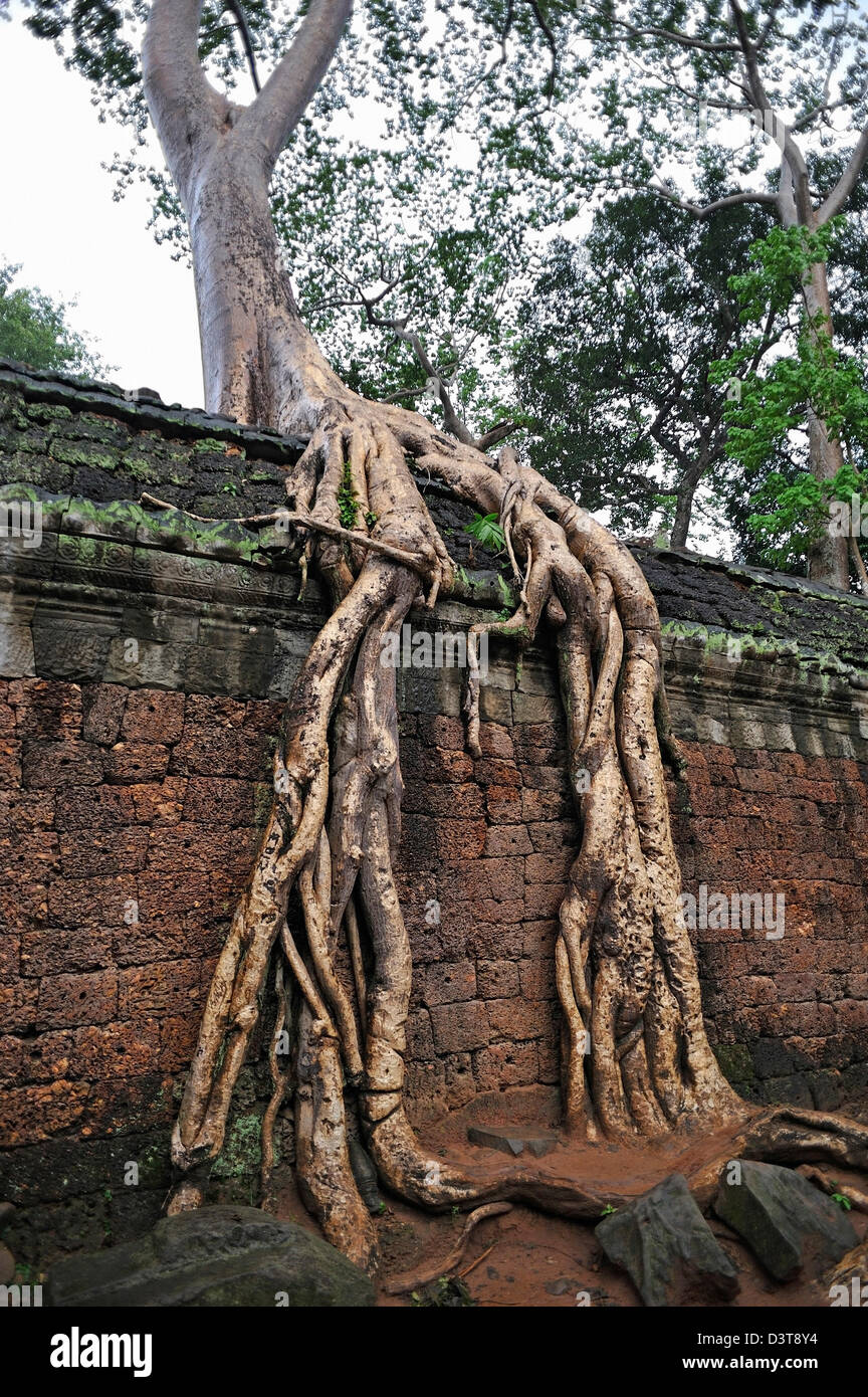 Strangler fig (Ficus sp.) tree roots on walls at Preah KhanTemple, Angkor Wat, Cambodia - Stock Image