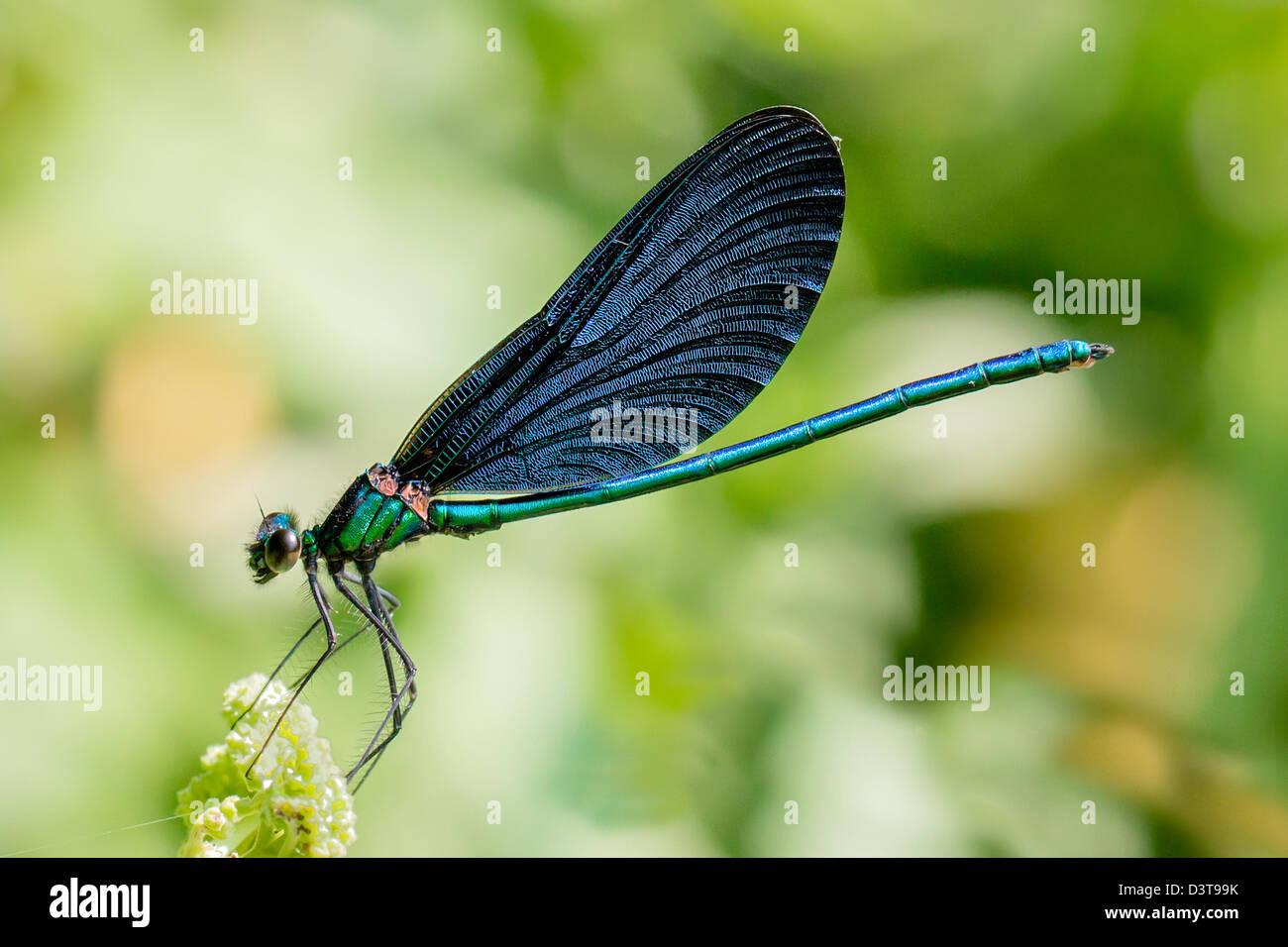 Dragonfly, Banded Demoiselle (Calopteryx splendens) Stock Photo