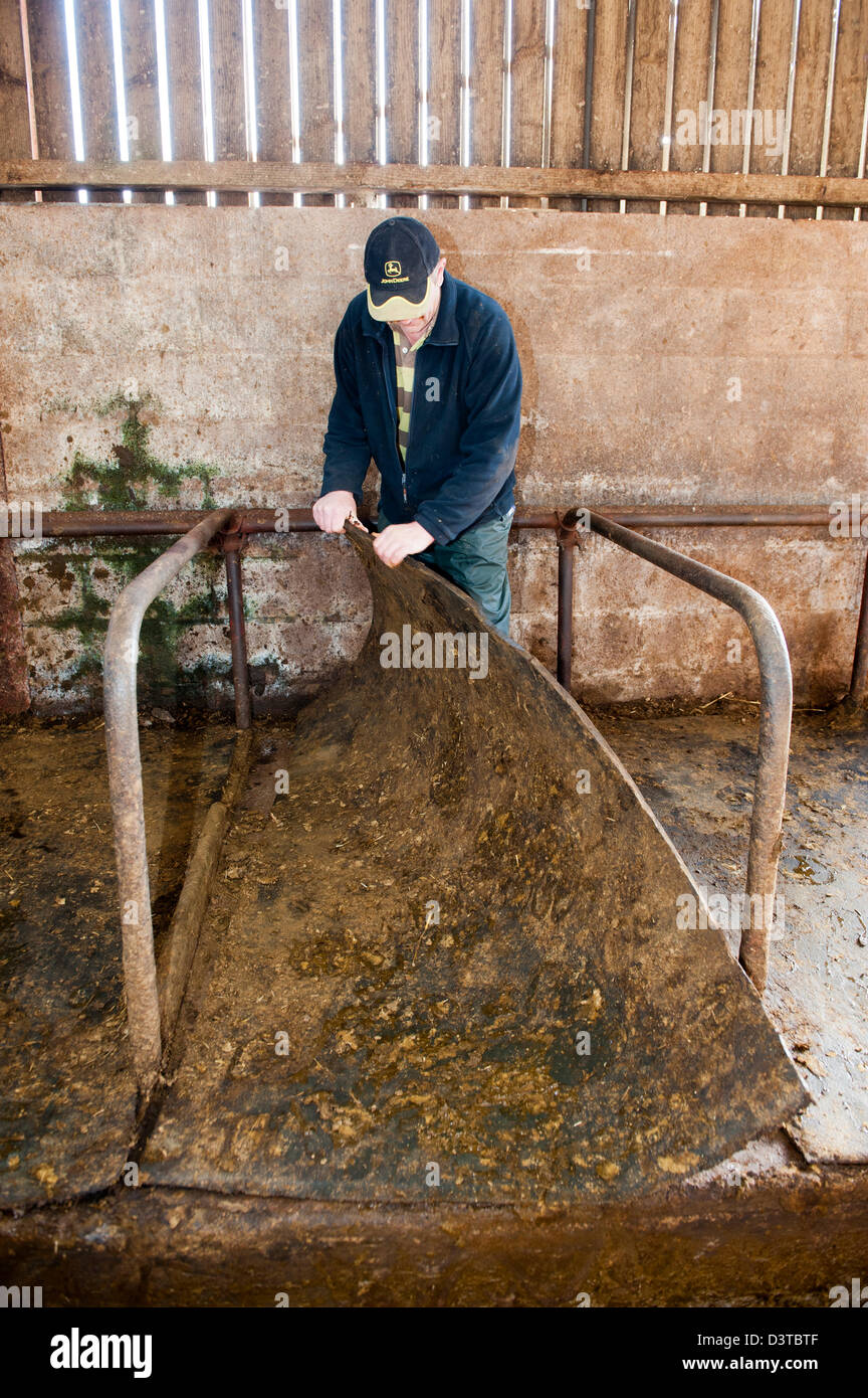 Farmer removing rubber mats from cow sitting area in cubicle shed. - Stock Image