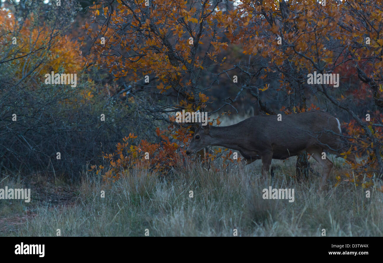 Deer cautiously walking through the bushes in Garden of the Gods, Colorado, USA - Stock Image