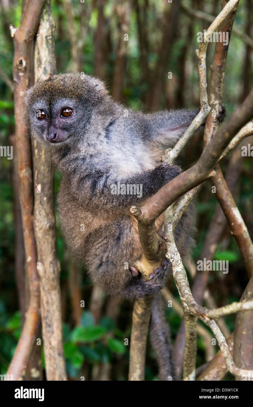 The bamboo or gentle lemurs (Hapalemur) Madagascar - Stock Image