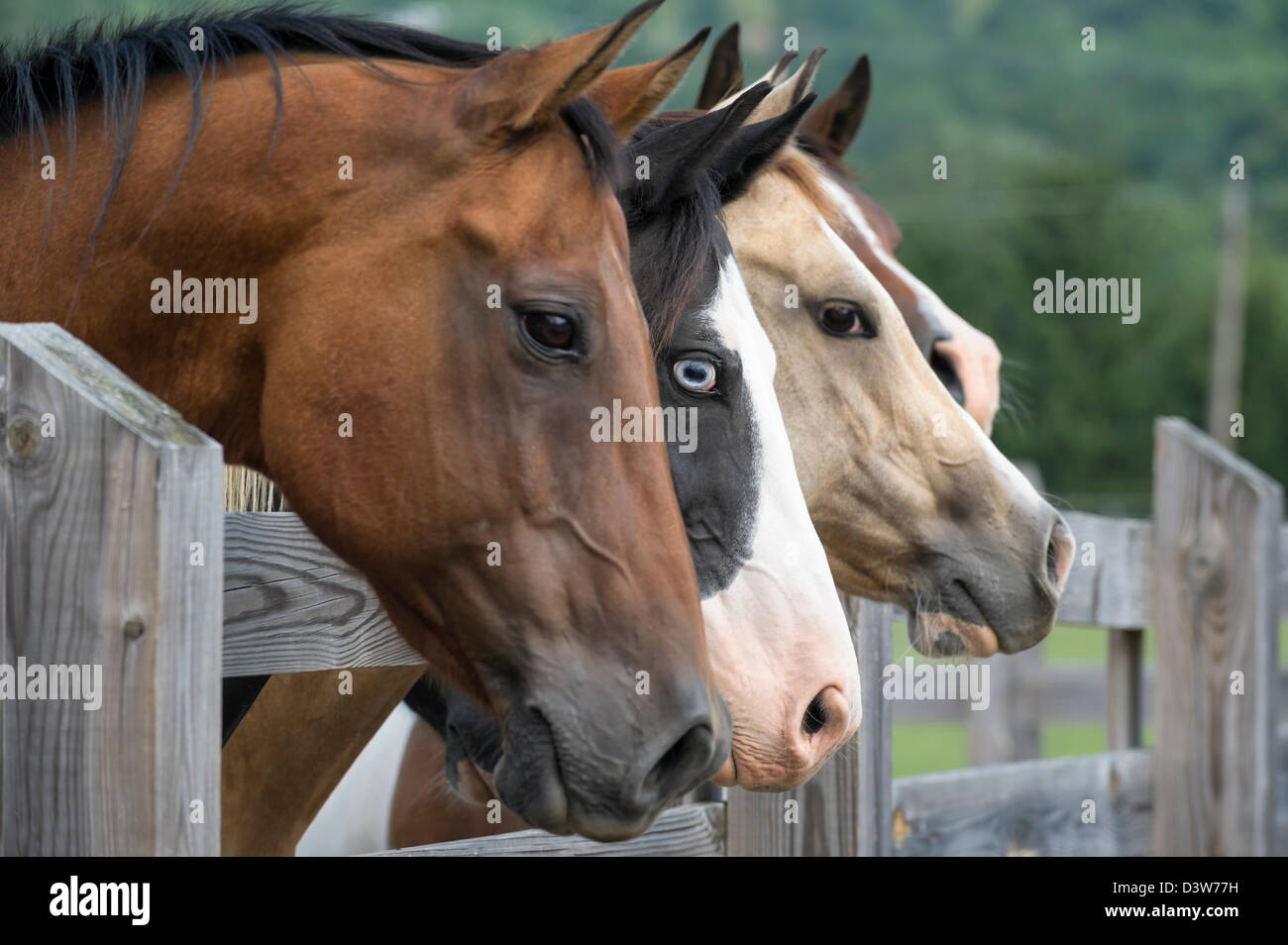 Horses lined up looking over fence as a group toward camera right, side view, focus on one animal with piercing - Stock Image