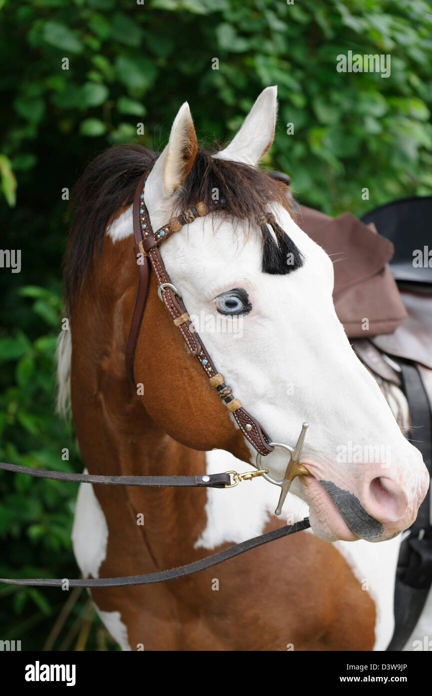 Paint horse head shot, close up portrait with halter of a blue eyed white faced piebald animal. - Stock Image