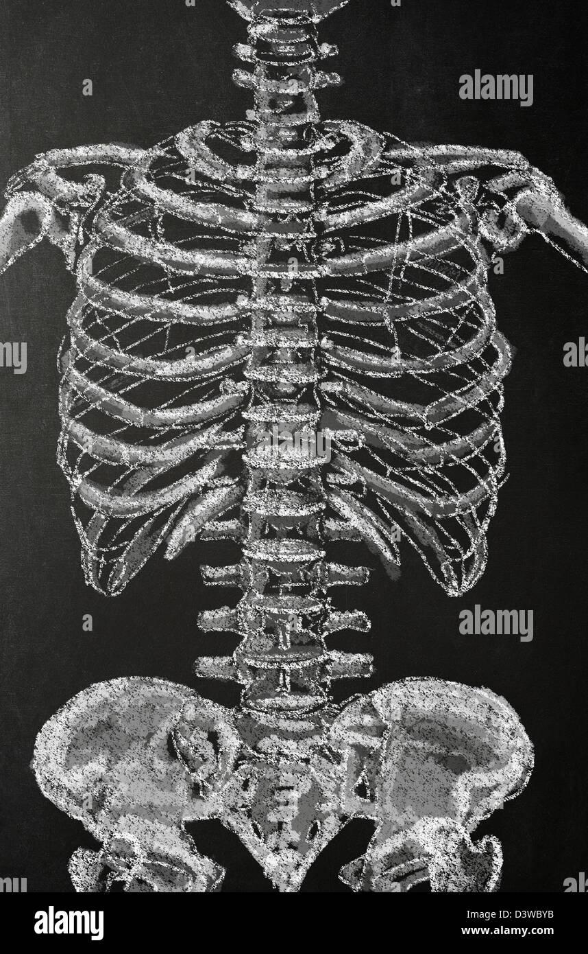 Chalk illustration of a human skeleton on a blackboard - Stock Image