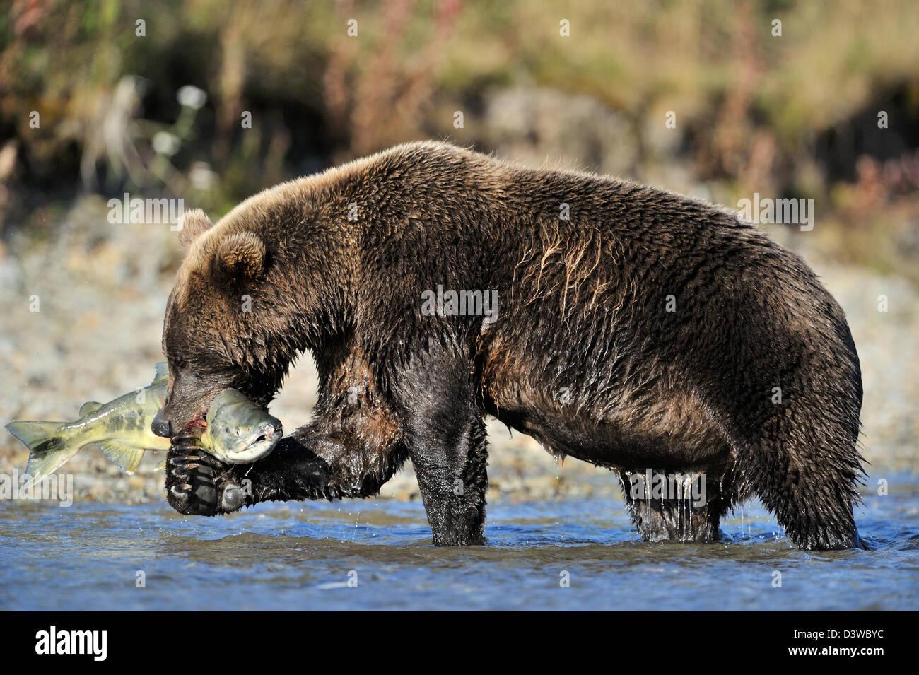 Grizzly Bear (Ursus arctos horribilis) catching a salmon, Katmai national park, Alaska, USA. - Stock Image
