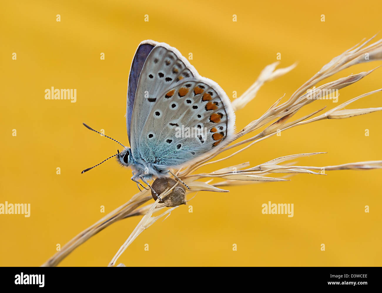 butterfly on an ear of corn, Licenide, Montevecchia e Valle del Curone, Italy - Stock Image