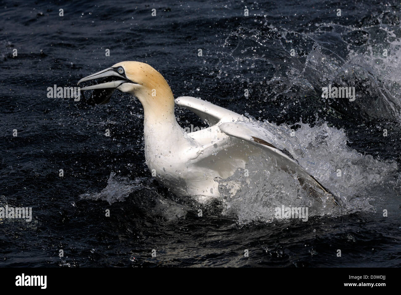 Northern Gannet diving up with caught fish in beak. - Stock Image