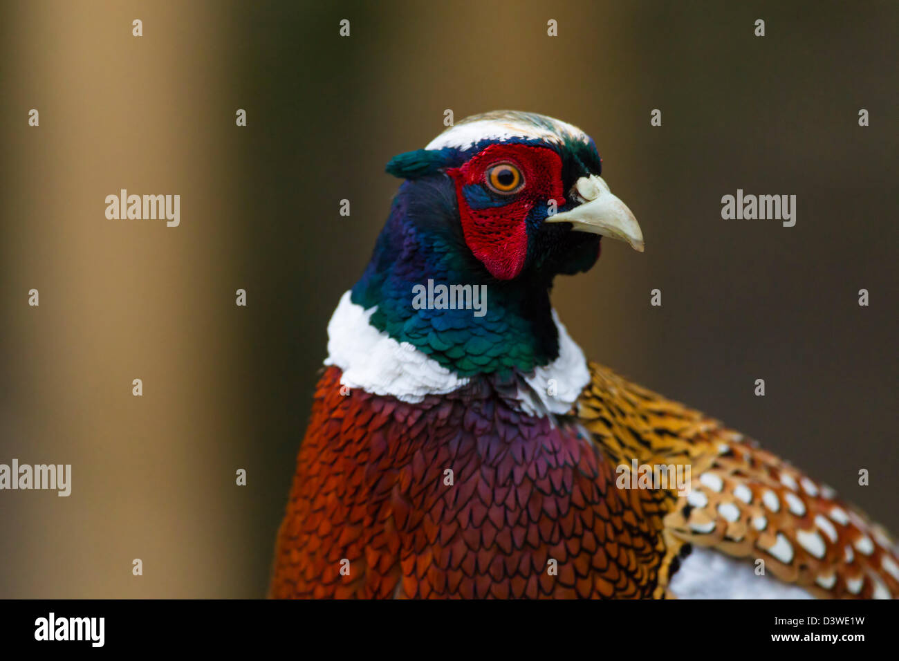 Pheasant. Phasianus colchicus (Phasianidae) - Stock Image