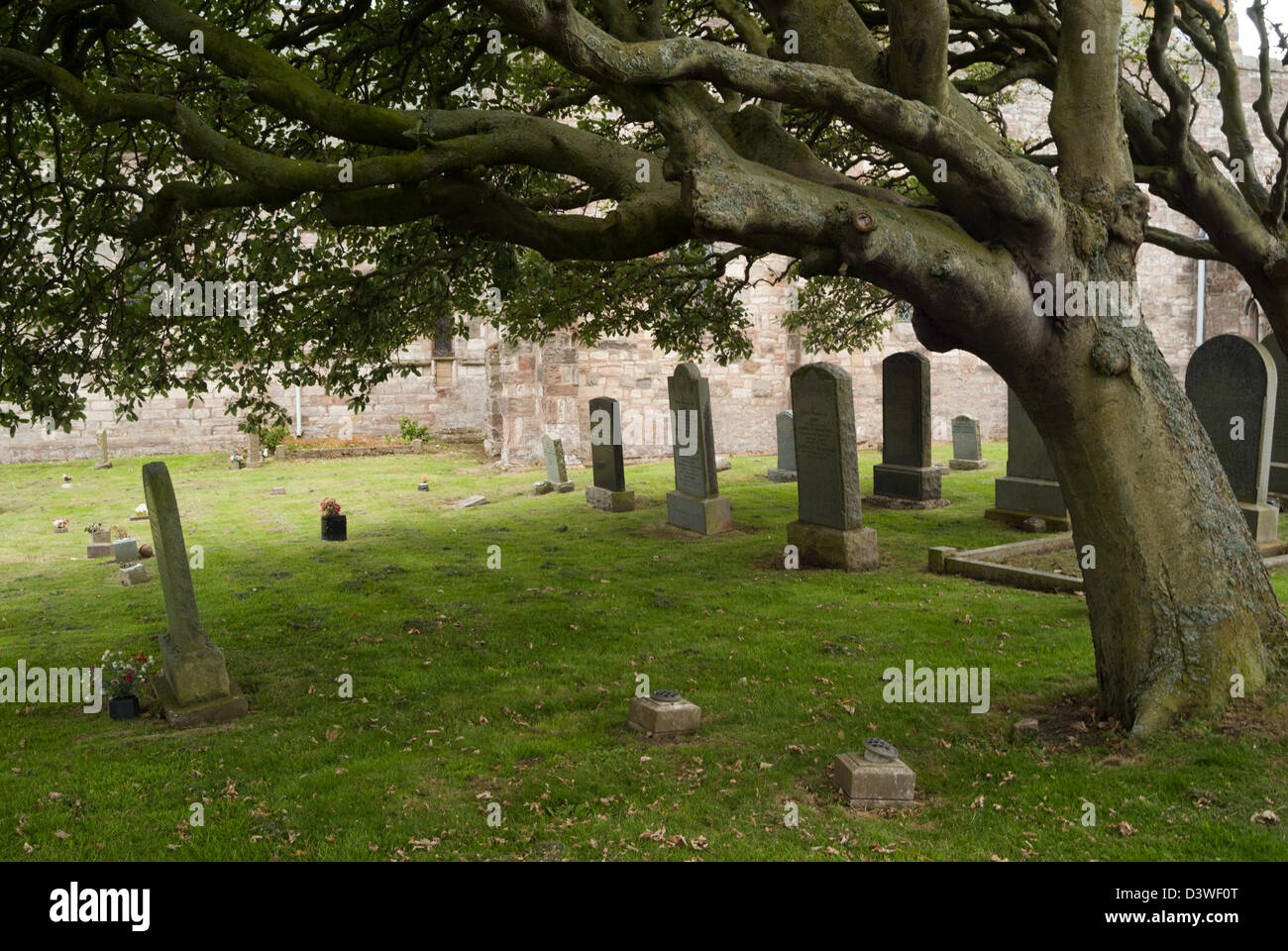 Beech tree leans over the gravestones in the churchyard, Lindisfarne, Northumberland, England - Stock Image