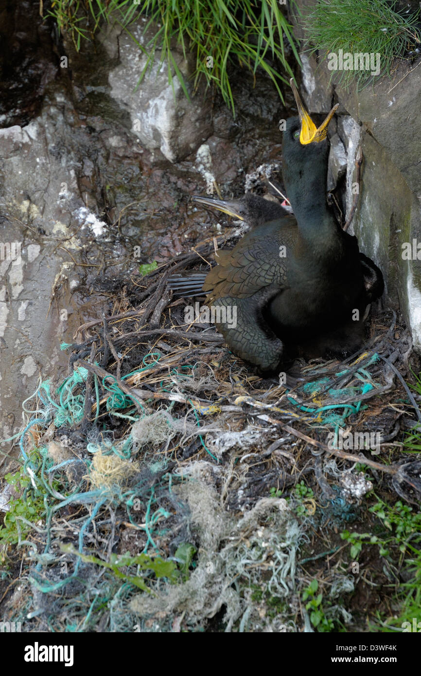 Nest from European Shag with old fishing net waist. - Stock Image