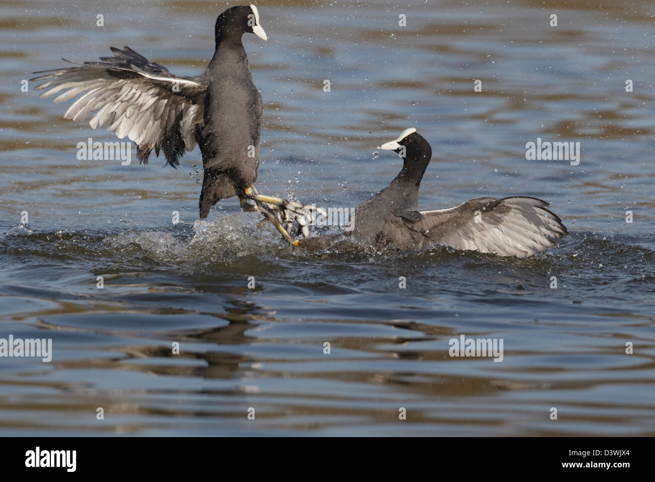 Coot (Fulica atra) fighting - Stock Image