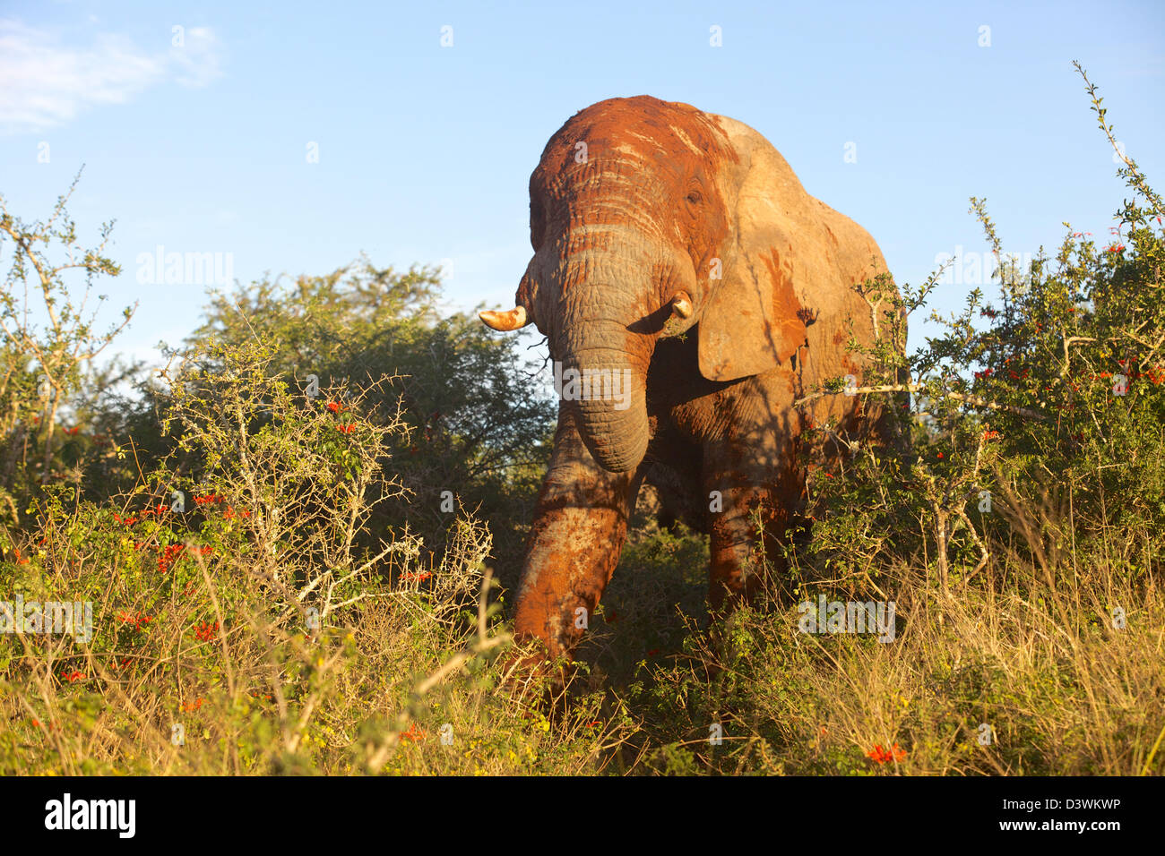 Close encounter with an elephant plastered with red mud in the Addo Elephant National Park, South Africa. - Stock Image