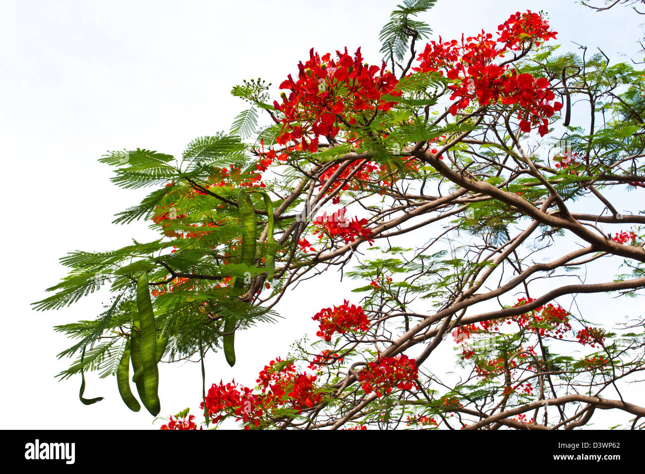 FLAMBOYANT FLOWERS AND GREEN SEED PODS ON THE TREE [DELONIX REGIA] - Stock Image