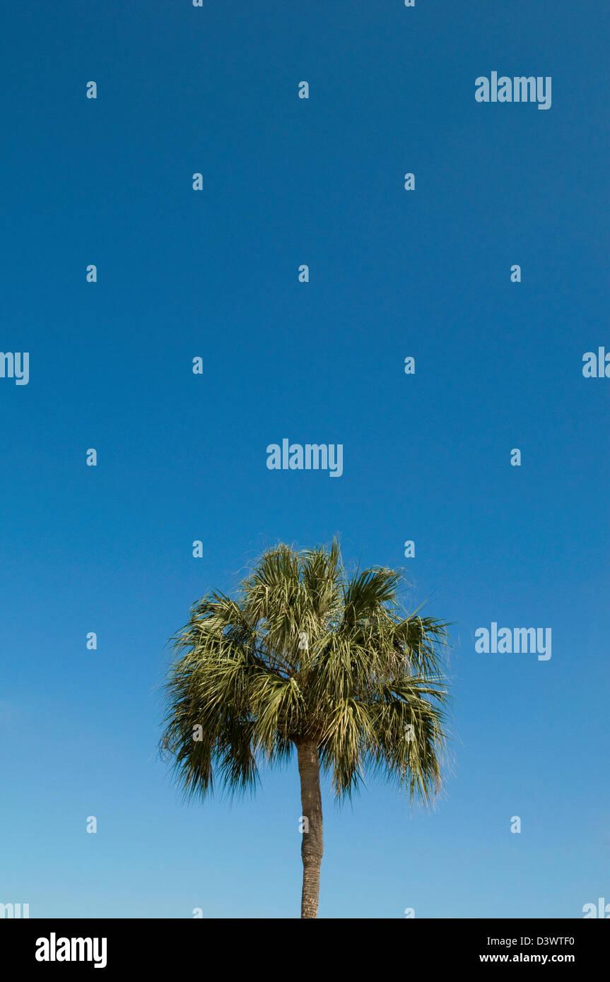 Florida palm tree. - Stock Image