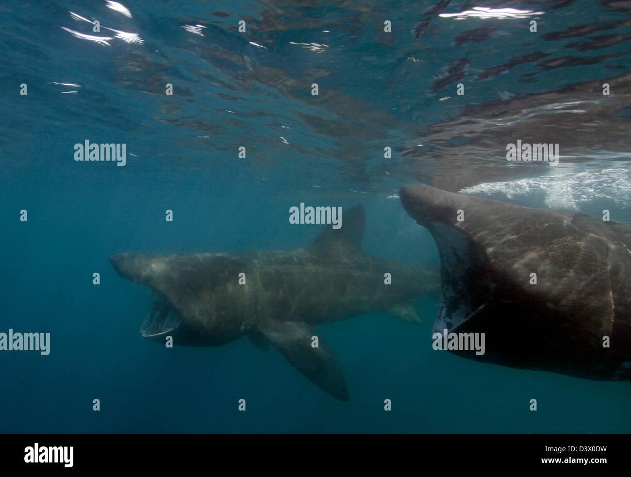 Basking Shark, Cetorhinus maximus, Lands End, Cornwall, England - Stock Image