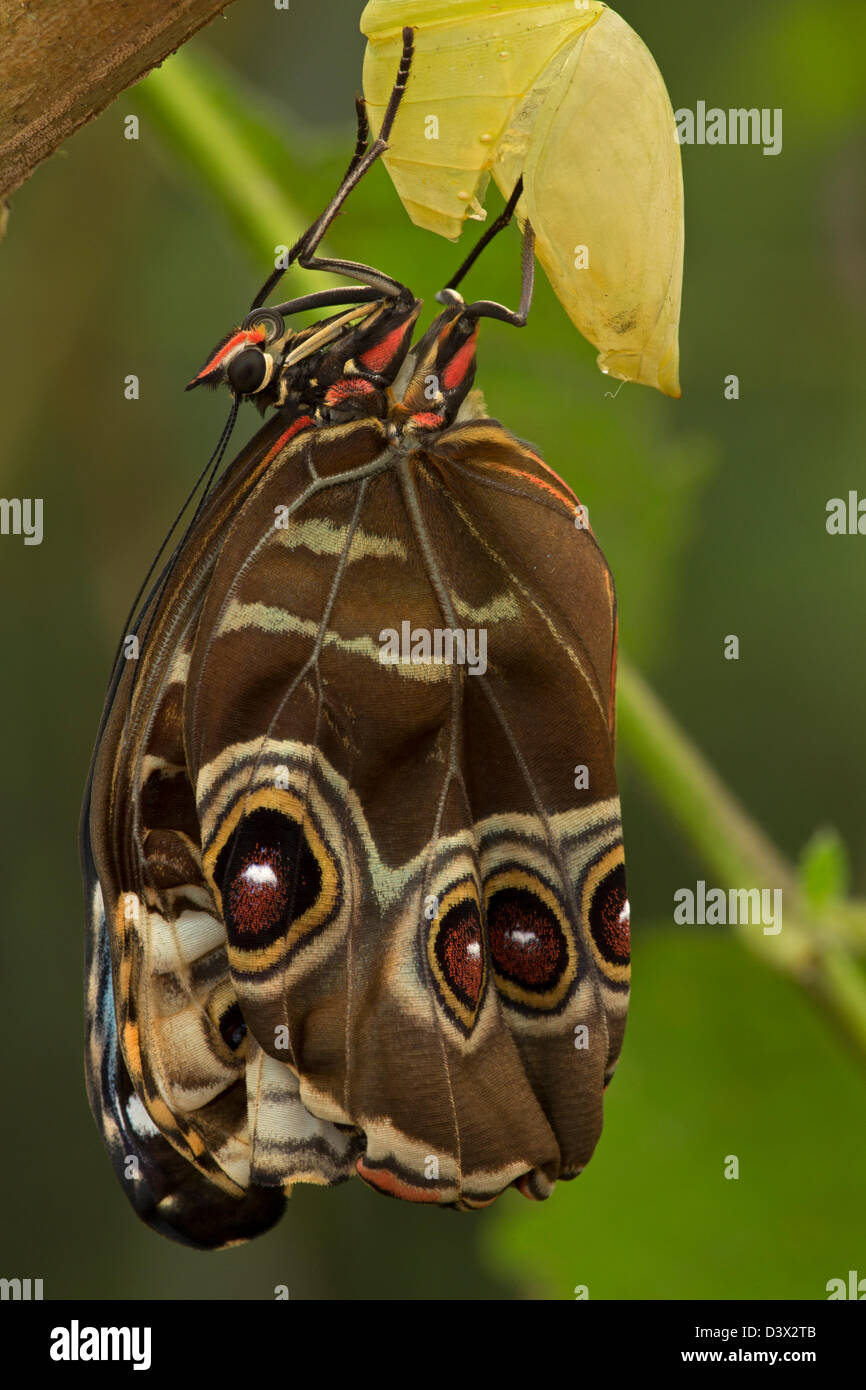 Blue Morpho (Morpho peleides) , tropical rainforest, Costa Rica, adult emerging from chrysalis, part of sequence2 - Stock Image