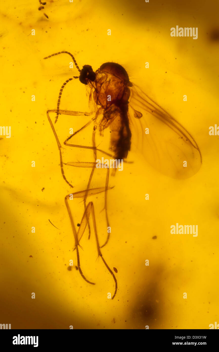 Dominican amber with insects captive, macro view of insects frozen in time - Stock Image