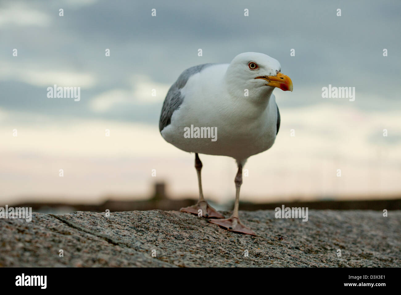 Gull - guernsey island UK - Stock Image