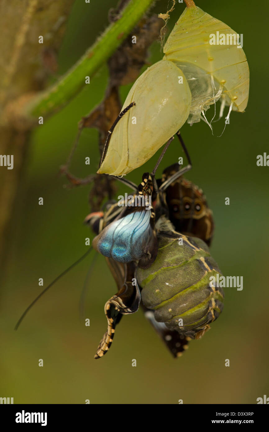 Blue Morpho (Morpho peleides) , tropical rainforest, Costa Rica, adult emerging-emerged from chrysalis part of sequence2 - Stock Image