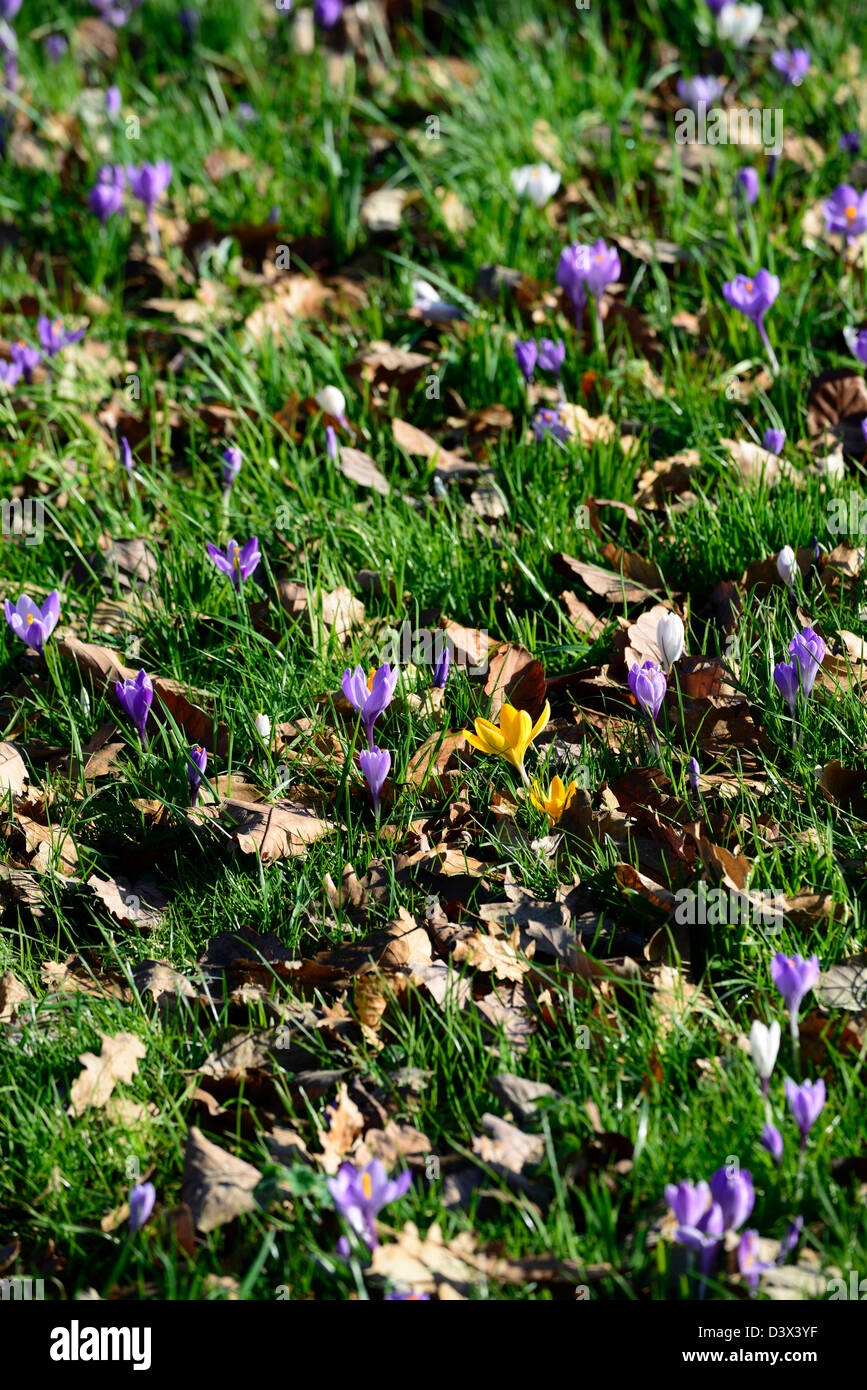 Crocus Flowers In Lawn In Stock Photos Crocus Flowers In Lawn In