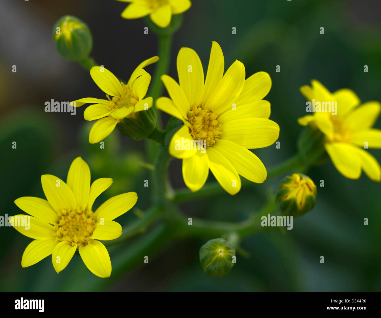 Daisy like stock photos daisy like stock images alamy othonna dentata yellow daisy like flowers blooms succulent shrub shrublet perennial stock image izmirmasajfo