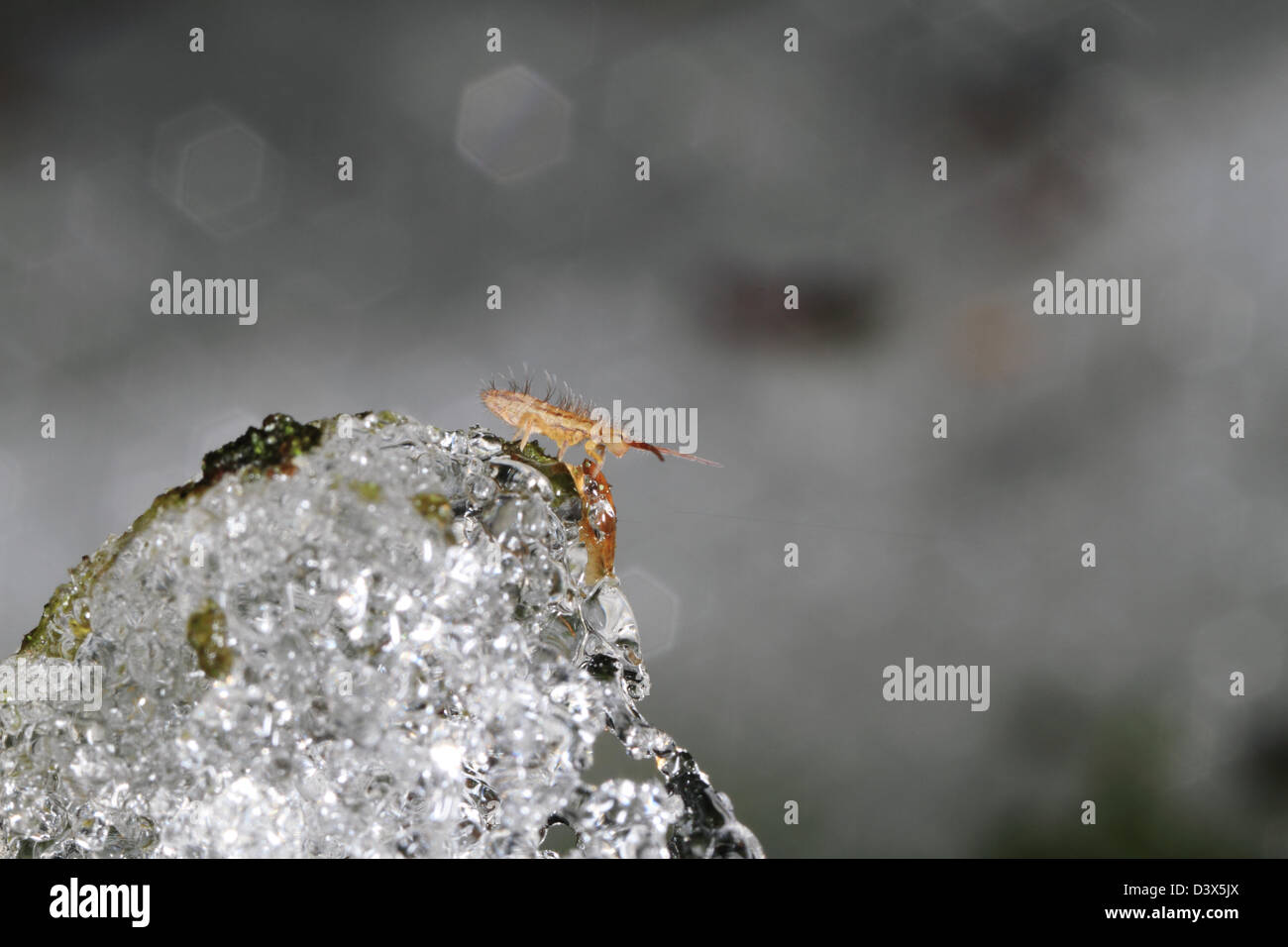 Even in winter small invertebrates are active. Here a springtail (Collembola) is resting on melting snow. - Stock Image