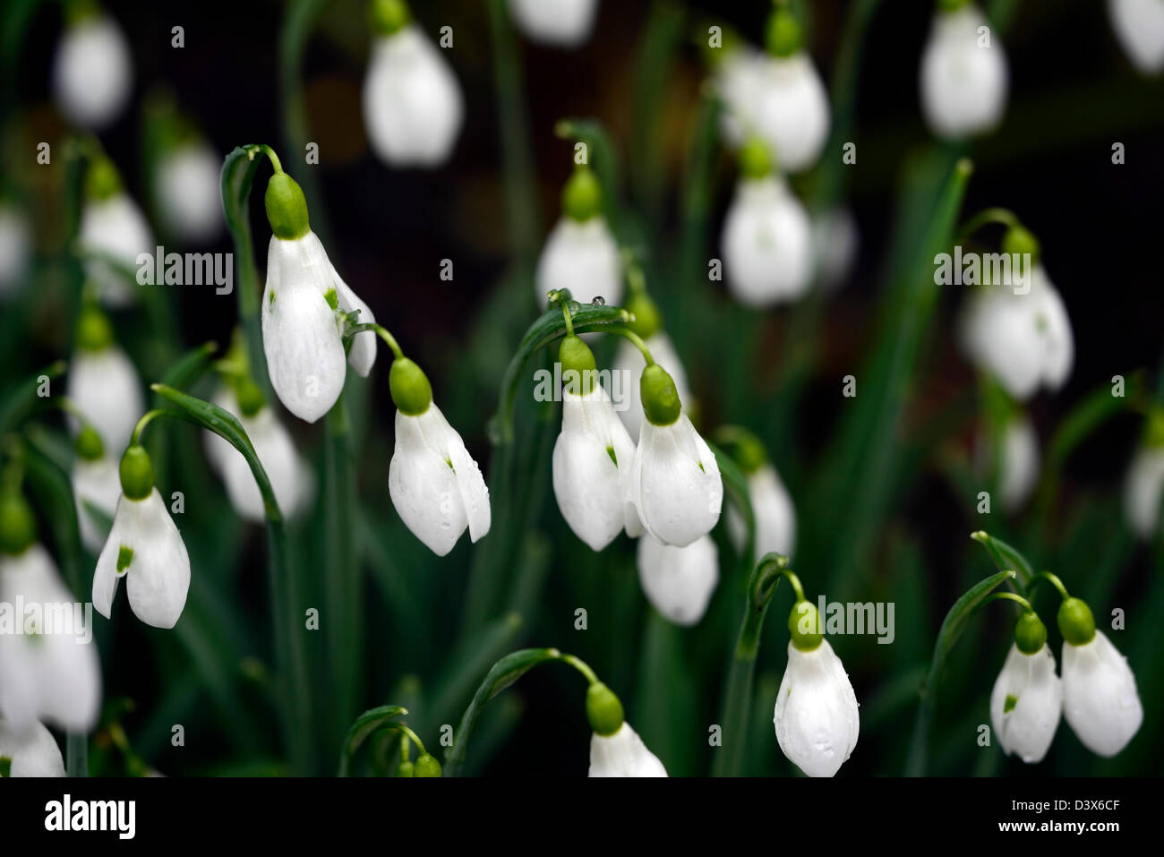 galanthus winifrede mathias snowdrop snowdrops winter closeup plant portraits white green markings flowers blooms - Stock Image
