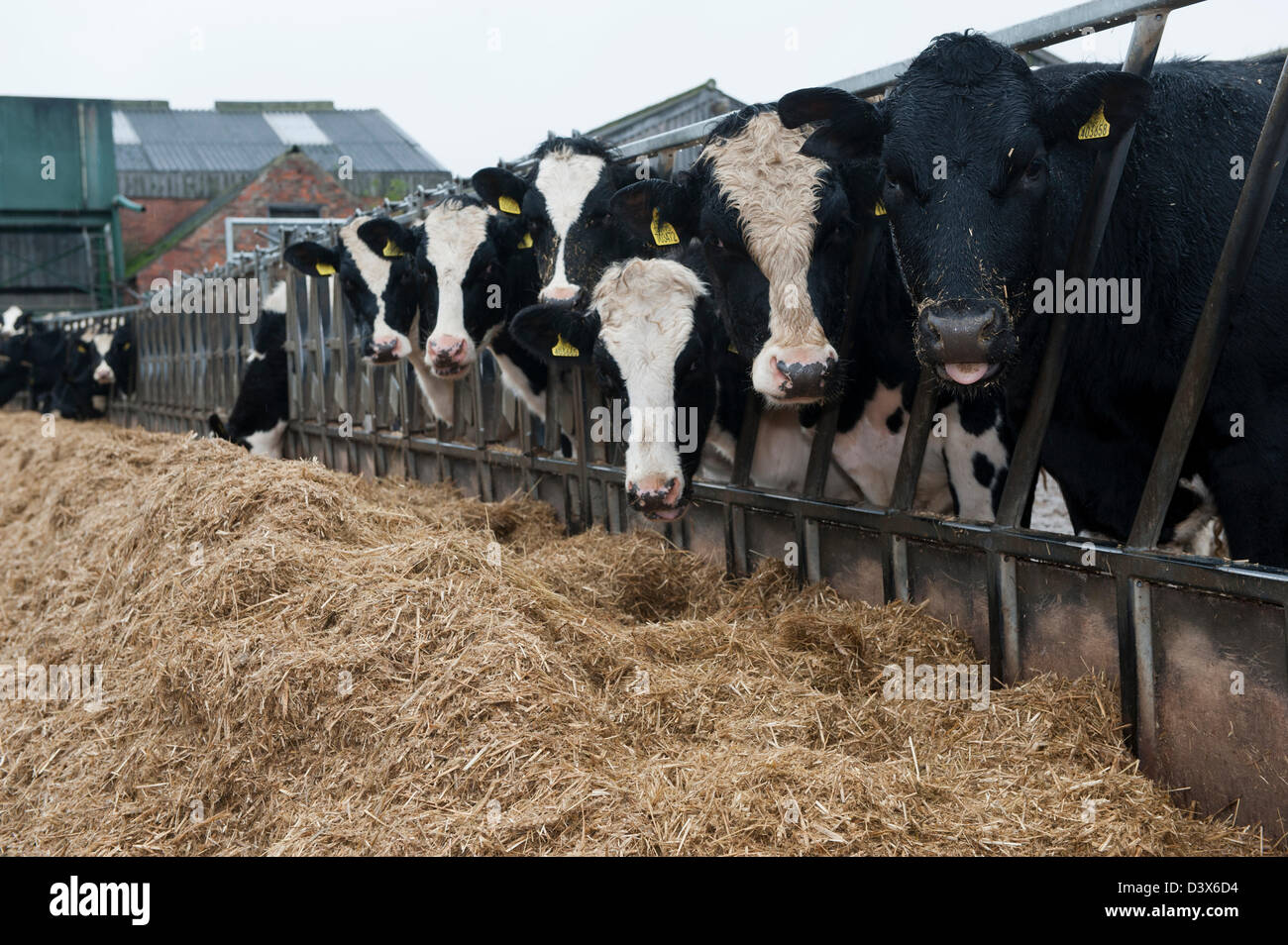 Cows Eating Silage Uk Stock Photos & Cows Eating Silage Uk Stock