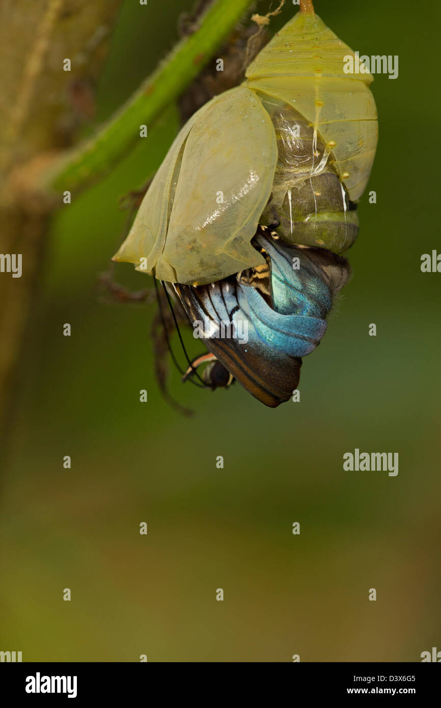 Blue Morpho (Morpho peleides) , tropical rainforest, Costa Rica, adult emerging from chrysalis, part of sequence - Stock Image