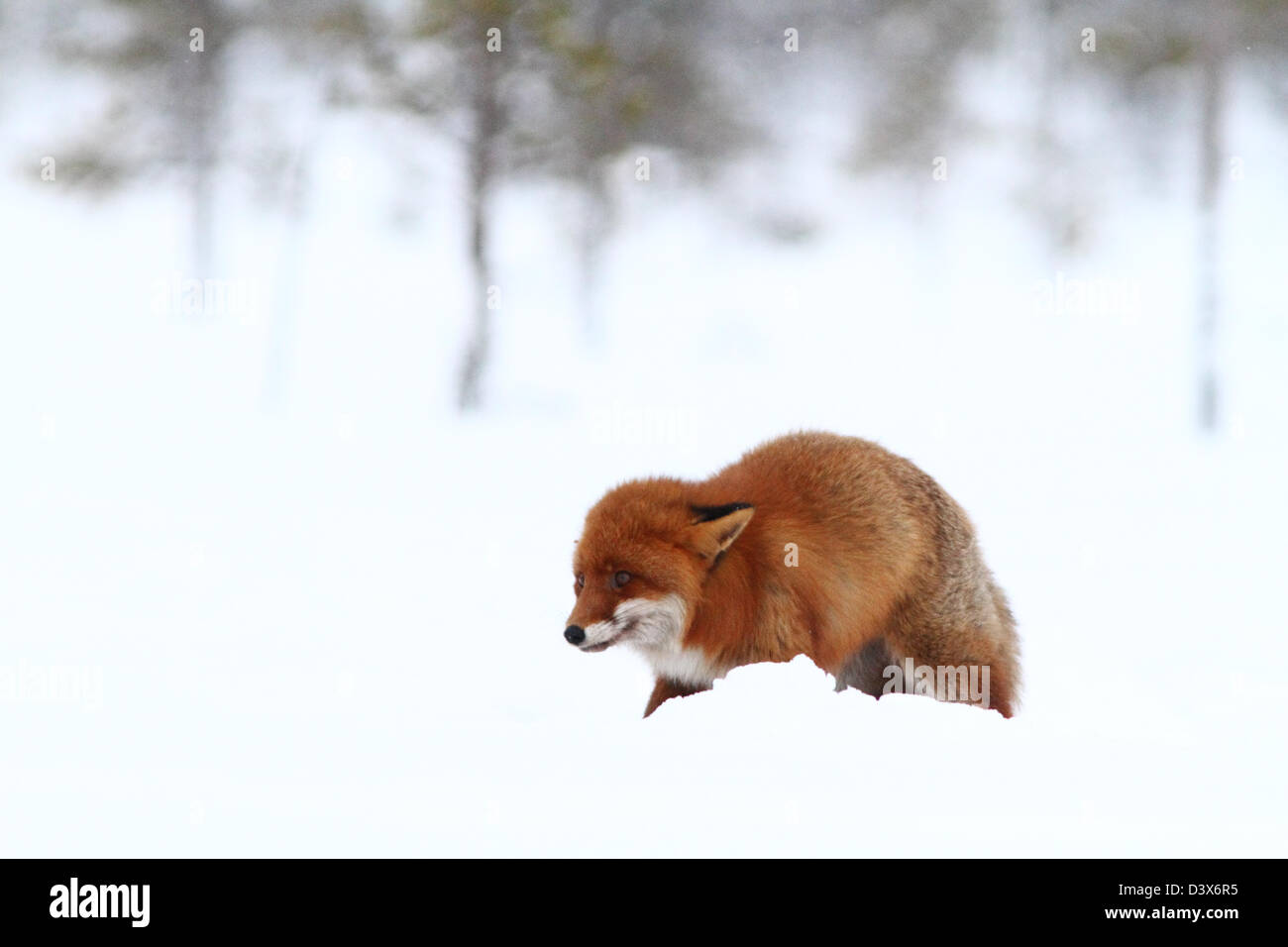 Red Fox (Vulpes vulpes) feeling unsafe. Photographed in Västerbotten, Sweden - Stock Image