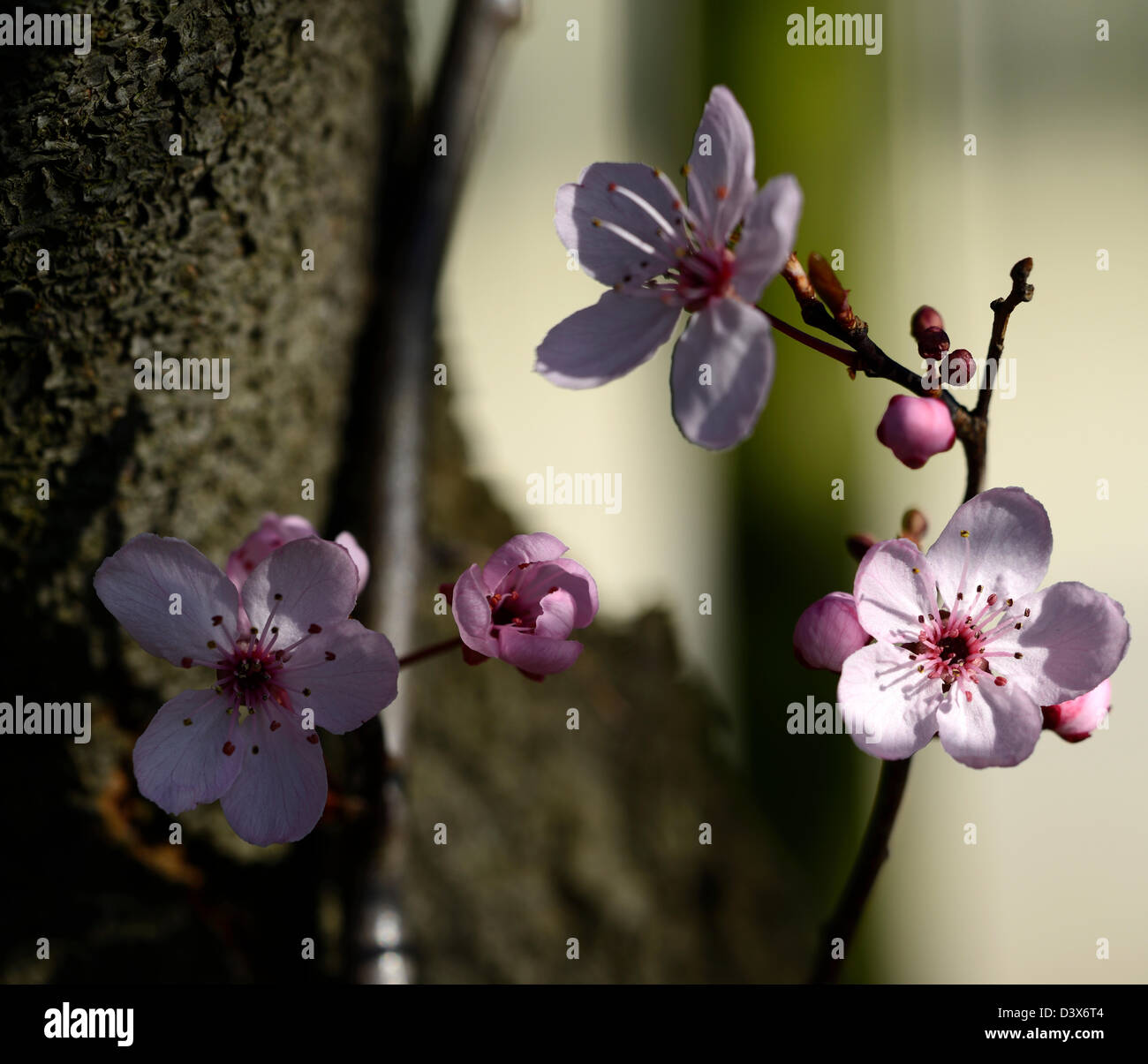 Prunus cerasifera pissardii roebuck castle Purpleleaf Plum cherry plum myrobalan plum tree blossom flower bloom - Stock Image