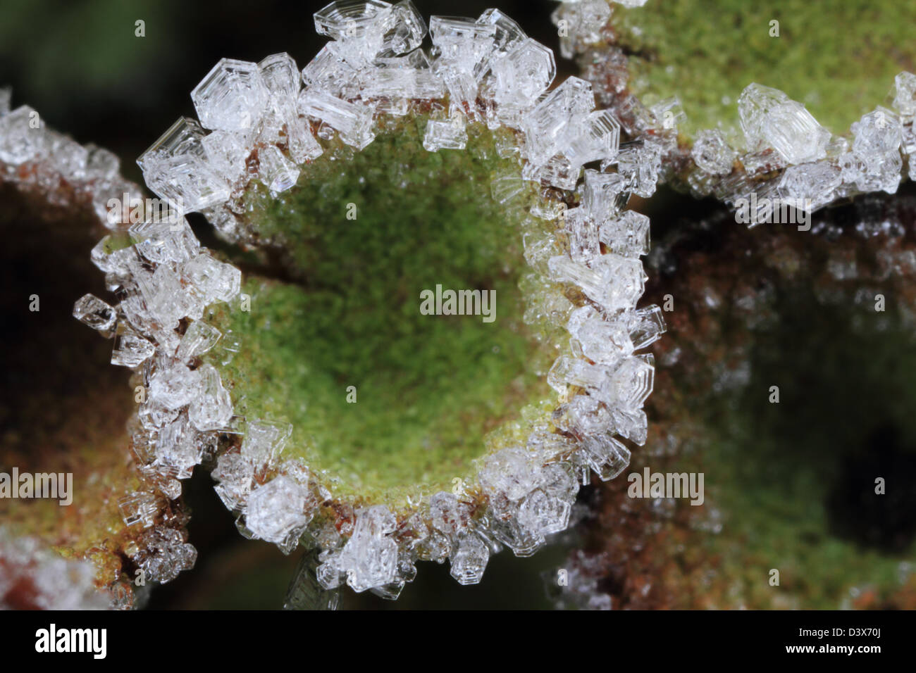 Hoar frost crystals on the rim of a cup lichen. Photographed in Frederikshaab Plantation, Denmark Stock Photo