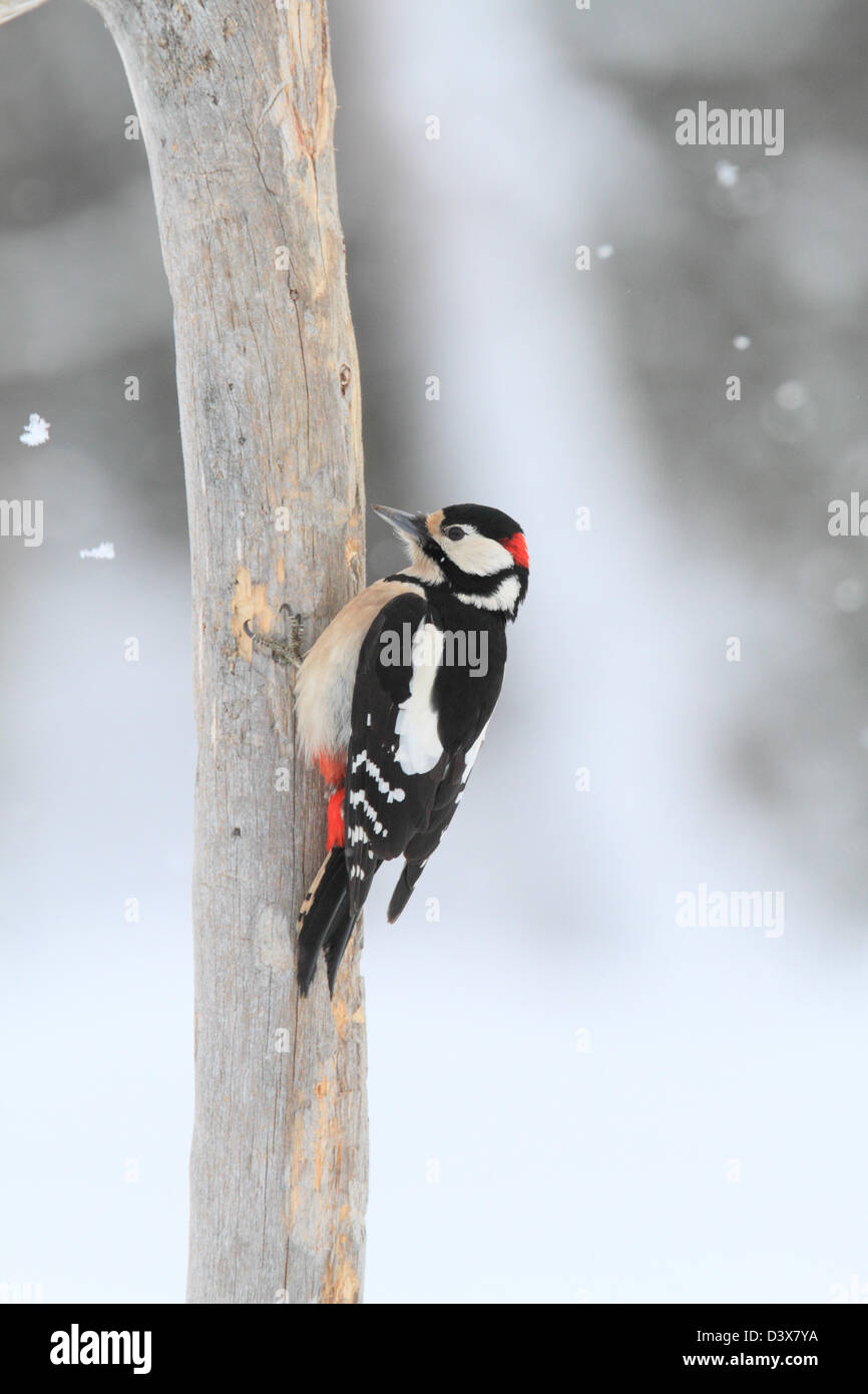 Great Spotted Woodpecker (Dendrocopos major) and winter surroundings. Photographed in Västerbotten, Sweden - Stock Image