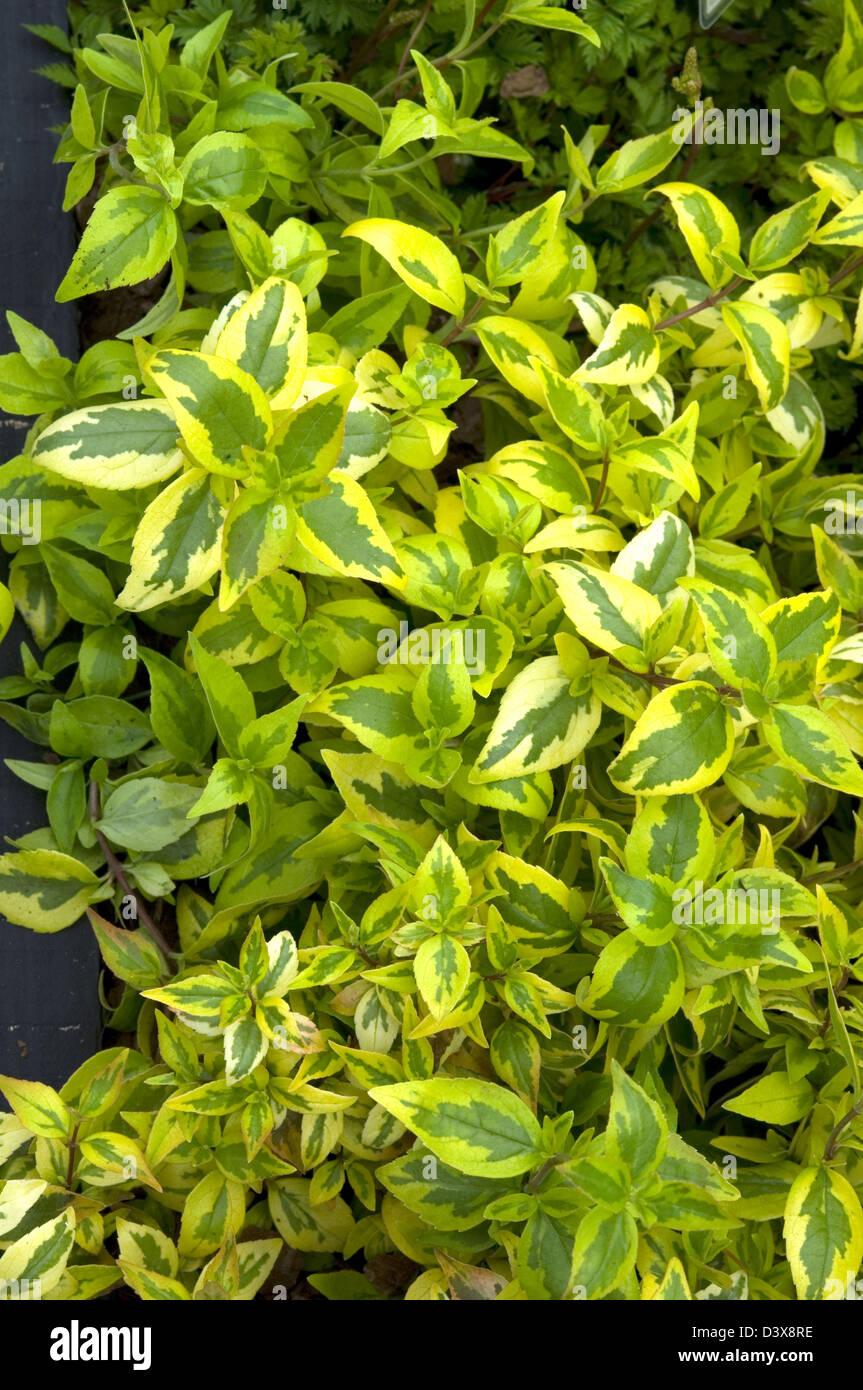 Abelia Grandiflora Kaleidoscope New Variegated Variety Stock Photo