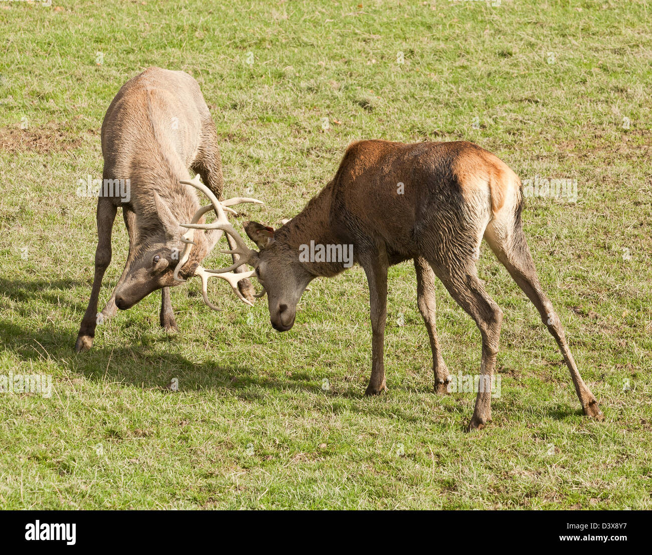 Two stags interlocking antlers in a fight - Stock Image