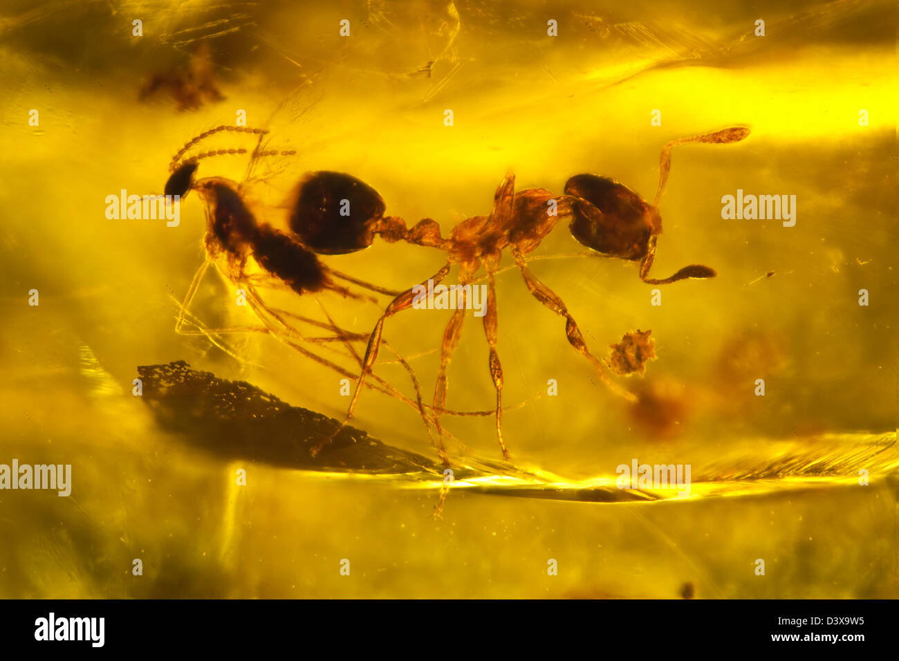 Dominican amber with insects captive, macro view of an ant and fly - Stock Image