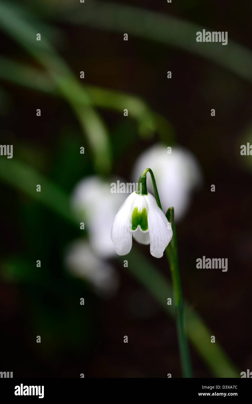 galanthus desdemona snowdrop snowdrops winter closeup plant portraits white green markings flowers blooms bloom Stock Photo