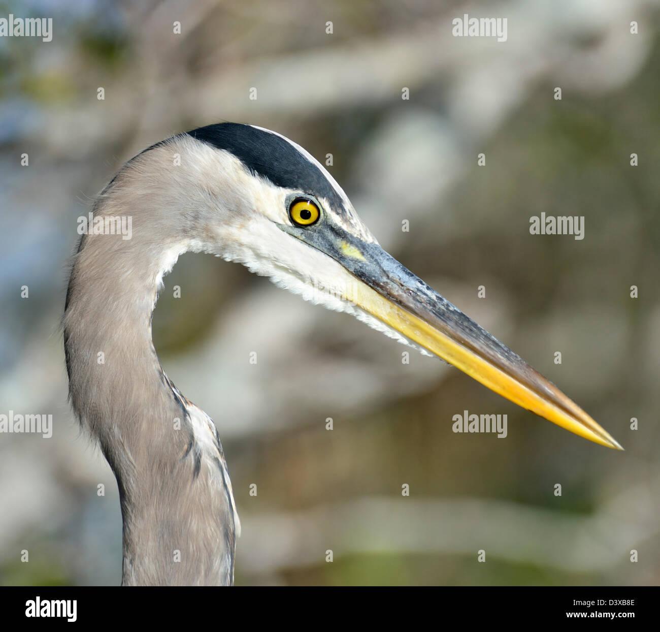 A Great Blue Heron Portrait - Stock Image