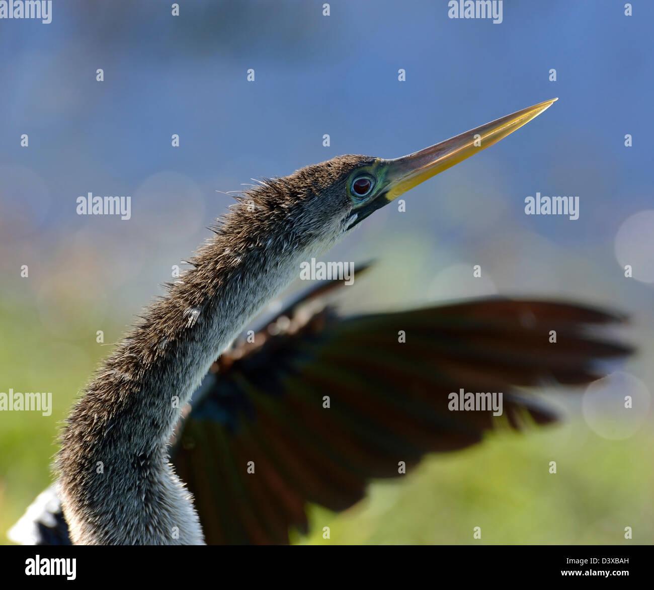 Male American Anhinga (Anhinga anhinga),Portrait - Stock Image
