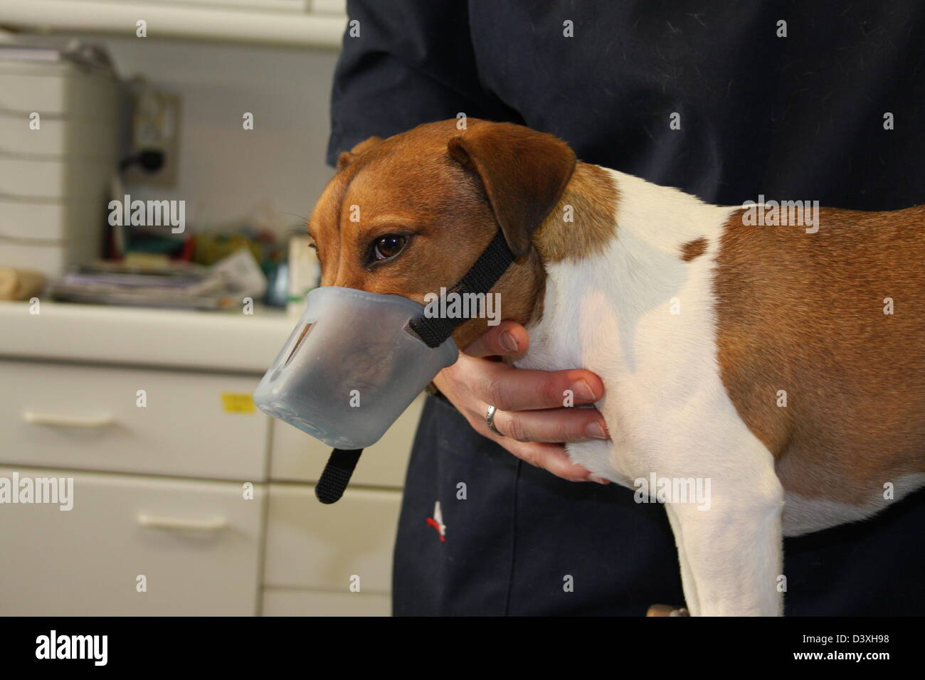 Jack Russel Terrier dog with a muzzle to the veterinarian - Stock Image