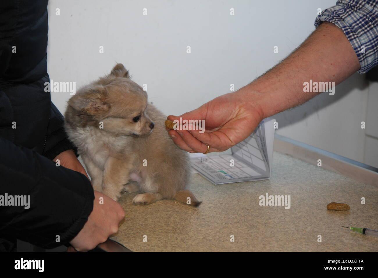 Chihuahua Dog  /  the veterinary gives a reward to a good dog - Stock Image